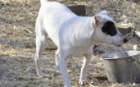 06m ZOEY rat Terrier