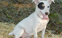 128 Zoey Rat Terrier