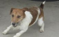 Jack-Russell-Terriers__element153