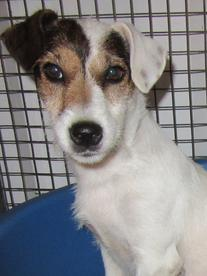 Jack-Russell-Terriers__element35