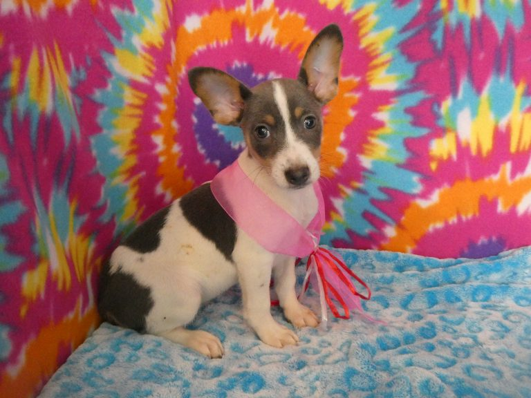 Rat Terrier puppies