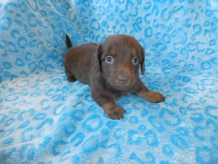 #3 Miniature Dachshund male