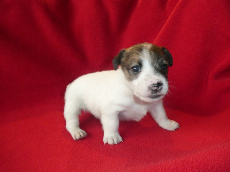 #1 Jack Russell Terrier Male