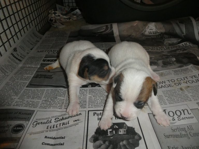 #2 Jack Russell Terrier female