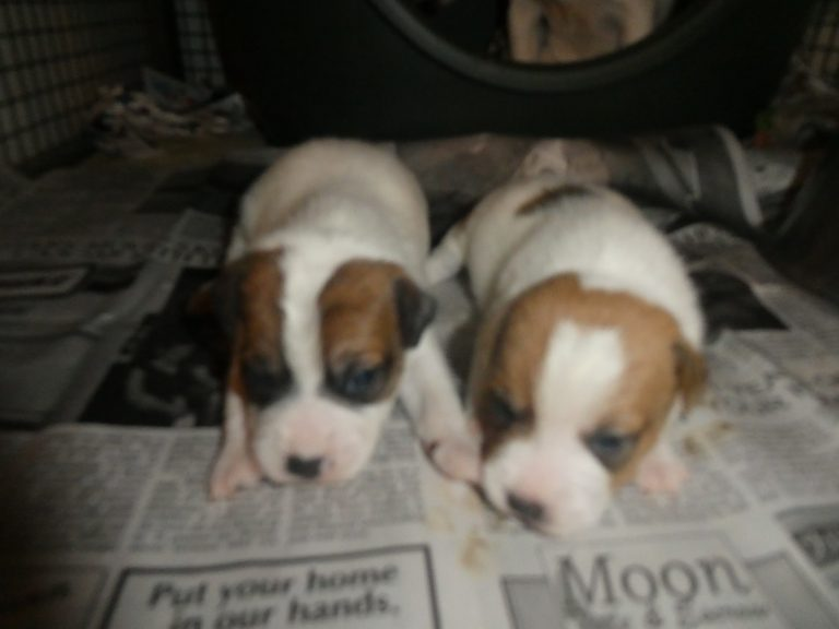 #3 & 4 JACK RUSSELL TERRIER males