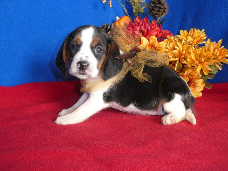 #2 Beagle Female