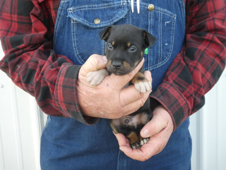#1 Rat Terrier male