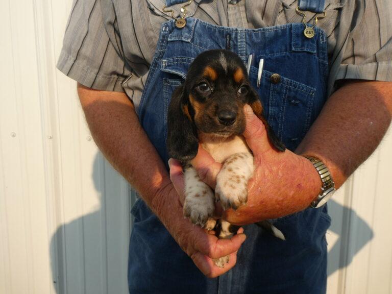 #3 Basset hound FEMALE