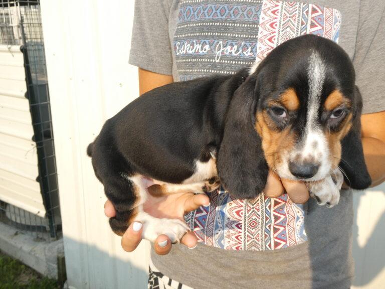 #4 Basset hound Female