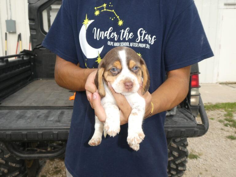 #4 Beagle FEMALE